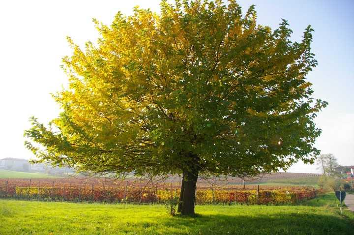 Patrimonio boschivo dell'Astigiano e specie arboree ed arbustive di pregio in ambito locale. Gelso (Morus alba).